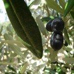 Itinerario fra olio extravergine d'oliva e vino in Puglia